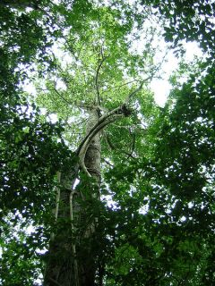 The Maya nut tree can grow over 100 feet tall at maturity. Photo credit: Wikipedia Commons.